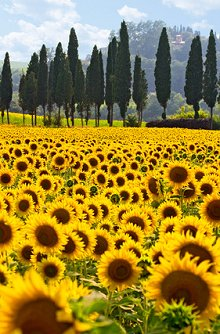Hair Testing. Library Image: Sunflower Field